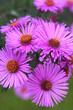 Leinwanddruck Bild - Aster frikartii o Settembrini. Fiori viola autunnali in giardino.