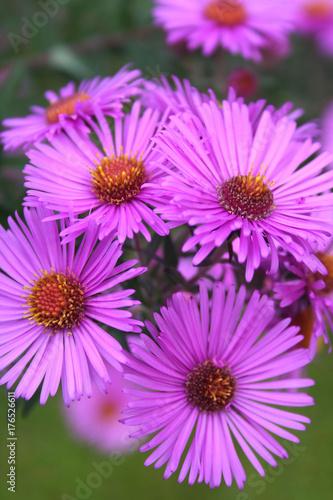 Leinwanddruck Bild Aster frikartii o Settembrini. Fiori viola autunnali in giardino.