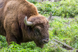 portrait of a male european bison (wisent) - 176527680