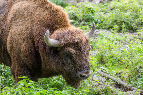 Aluminium Bison portrait of a male european bison (wisent)
