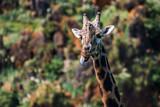 Funny giraffe showing tongue - 176529482