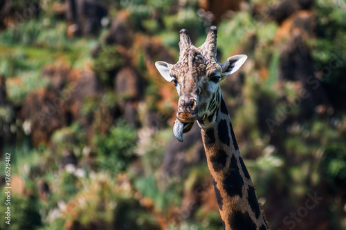 Funny giraffe showing tongue Poster