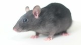 rat on a white background - 176533851