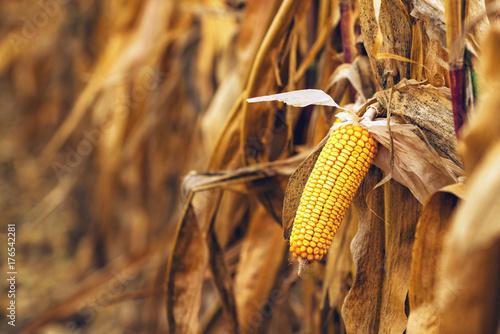 Ripe yellow ear of corn on the cob