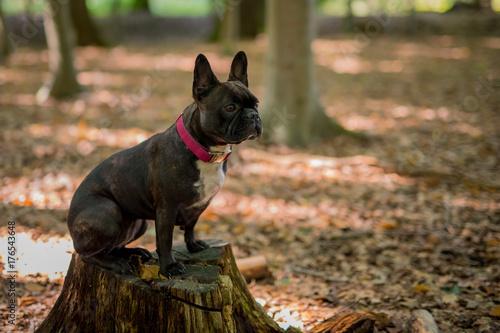 Keuken foto achterwand Franse bulldog Mops im Wald