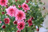 Розовые хризантемы в саду  - 176545694