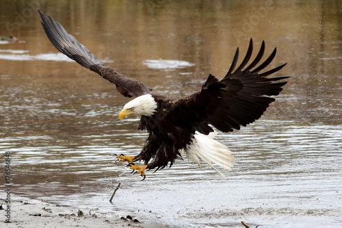 Plexiglas Eagle Bald Eagle Landing