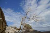 Nadelbaum am Strand von Chrysi, Griechenland - 176552227