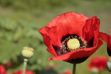 Poppy flowers, vegetation and flower, sunlight