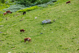 cows on pasture. - 176560884