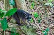 Quadro Crab-eating raccoon (Procyon cancrivorus) in National Park Manuel Antonio, Costa Rica