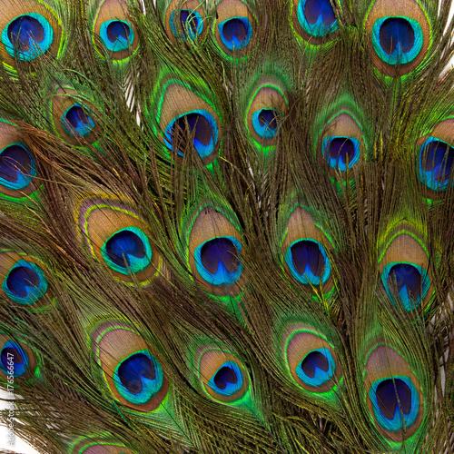 Aluminium Pauw colorful peacock feathers isolated on white background