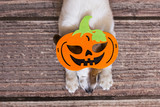cute little dog lying on the wood floor with a costume pumpkin. Halloween concept. view from above - 176567686