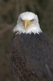 Mature adult Bald eagle (Haliaeetus leucocephalus) - 176580682