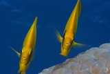 a butterfly fish couple on blue background - 176586071