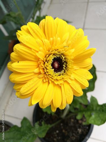 Aluminium Gerbera Yellow gerbera flower