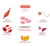 Illustration of the Human Stem Cell Applications on a white background - 176586879