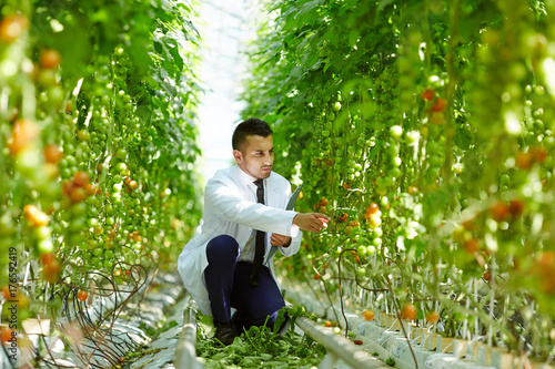 Contemporary greenhouse worker sitting on squats in aisle between tomato plants and learning their characteristics
