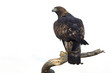 Adult male of Aquila chrysaetos, Golden eagle