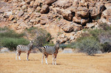 Burchell's Zebra in Namibia - 176614205