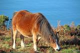 wild pony grazing - 176618834