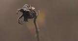 single dried briar berry closeup - 176628214
