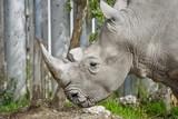 rhinoceros - 176630895