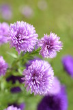 Asters - 176636024