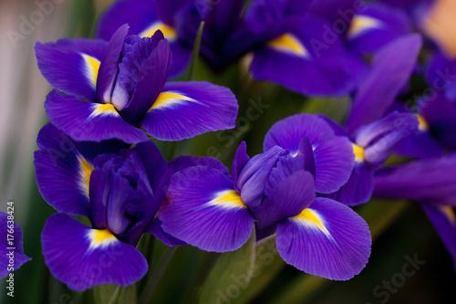Fotobehang Iris beautiful bouquet of lilac blue irises