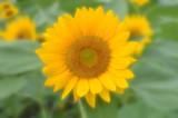 Sunflower, Helianthus sp., Central of Thailand