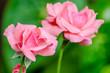 lindas rosas