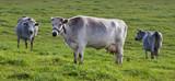 Blue cows in a field. - 176644650