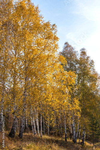 Fotobehang Berkenbos autumn leaves near birch yellow