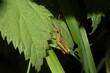 Großaufnahme einer Feldheuschrecke, Grashüpfer
