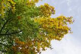 Buche mit bunten Blättern im Herbst - 176646017