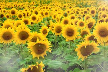 Beautiful meadow, field with yellow sunflowers