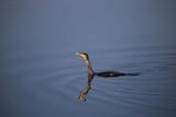 grand cormoran sur l'étang  - 176654680