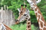 Giraffe - 176660278