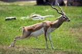Image of impala male (Aepyceros melampus) on nature background. Wild Animals. - 176677202