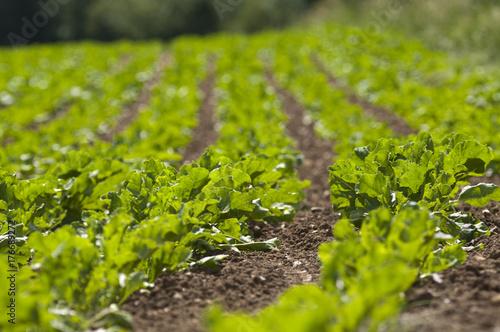 Field of sugar beet Poster