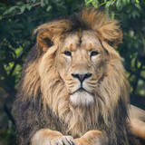 Beautiful portrait of Asiatic Lion Panthera Leo Persica - 176689605