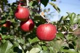 果樹園のりんご(シナノスイート) - 176691013
