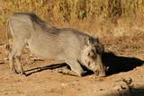 A warthog (Phacochoerus africanus) feeding in natural habitat, South Africa. - 176693409