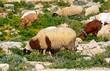 Goats grazing on scrubland, Dingli, Malta.