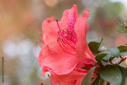 Fotobehang Azalea wild rose flowering in garden (Rhododendron arboreum)
