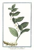 Old botanical illustration of Polygonatum latifolium vulgare. By G. Bonelli on Hortus Romanus, publ. N. Martelli, Rome, 1772 – 93 - 176701400