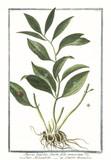 Old botanical illustration of Ruscus latifolius fructu folio innascente. By G. Bonelli on Hortus Romanus, publ. N. Martelli, Rome, 1772 – 93 - 176701432