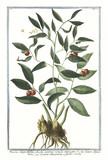 Old botanical illustration of Ruscus angustitifolius fructu summis ramuli innascente. By G. Bonelli on Hortus Romanus, publ. N. Martelli, Rome, 1772 – 93 - 176701433
