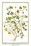 Old botanical illustration of  Oxys lutea, flore luteo (Oxalys acetosella). By G. Bonelli on Hortus Romanus, publ. N. Martelli, Rome, 1772 – 93 - 176701835