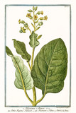 Old botanical illustration of Nicotiana minor (Nicotiana rustica). By G. Bonelli on Hortus Romanus, publ. N. Martelli, Rome, 1772 – 93 - 176702841